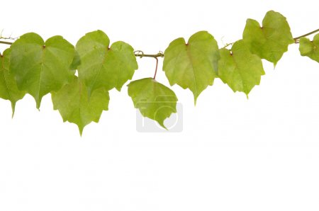 Photo for Beautiful ivy - Royalty Free Image