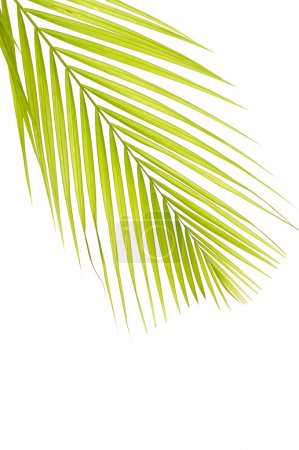 Photo for Green palm isolate on white - Royalty Free Image