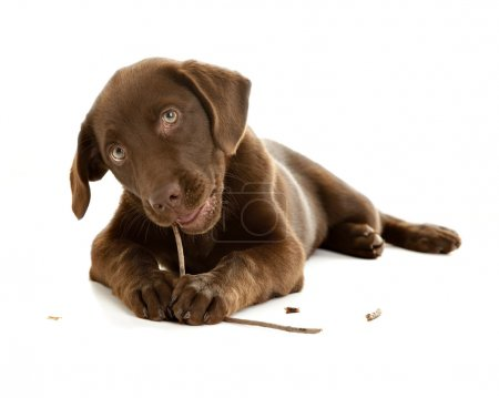 Adorable chocolate lab puppy