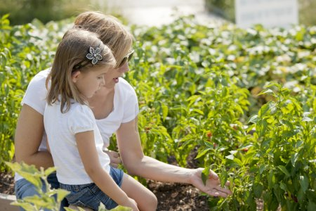 Gardening. Caucasian mother and her daughter picking peppers