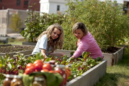 Gardening. Caucasian mother and her teenage daughter picking vegetables