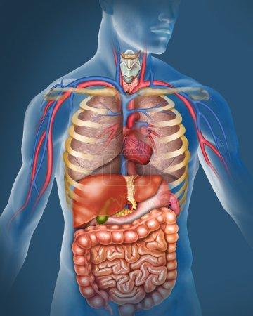 Photo pour Anatomie du corps humain - image libre de droit