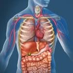 Anatomy of the human body...