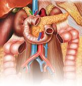 Digestive apparatus