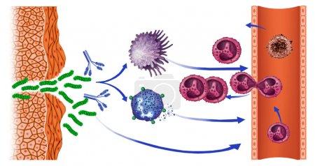 mononuclear cells