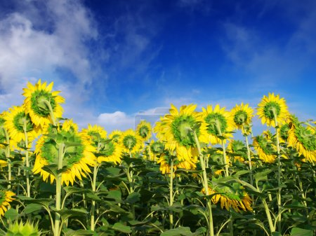 Sunflowers on background blue sky.