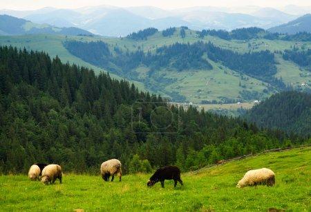 Photo pour Des moutons dans la ferme. Animaux de ferme - image libre de droit