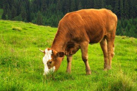 Cow on farm field