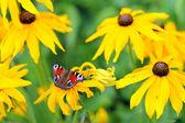 Paví oko na žluté květině