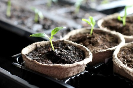 Photo for Seedling grow indoor - Royalty Free Image