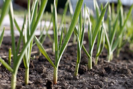 Photo for Ripe of beautiful green garlic sprouts farm - Royalty Free Image