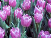 Tulipán pole v Nizozemsku