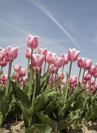 Photo pour Champ de tulipes aux Pays-Bas - image libre de droit