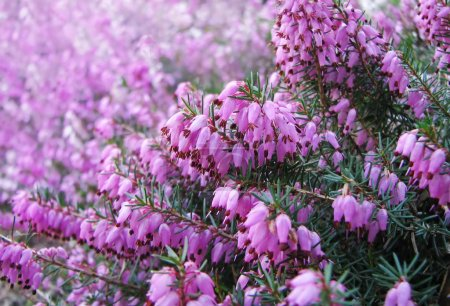 Heather flowers blossom in august