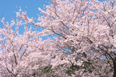 Two cherry trees in full blossom.
