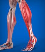 Spodní nohy svaly anatomie