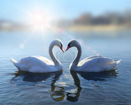 Photo pour Romantique deux cygnes, symbole de l'amour - image libre de droit