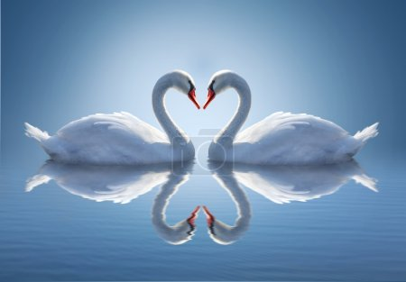 Photo for Romantic two swans. Water reflection on blue background. - Royalty Free Image