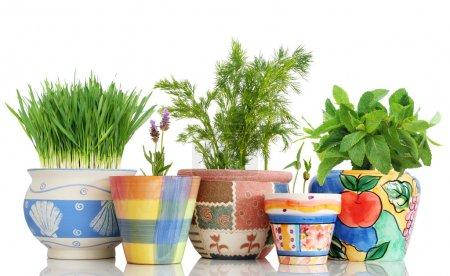Photo pour Cinq différentes herbes dans des pots colorés isolés sur blanc - image libre de droit