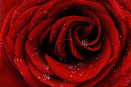 Photo pour Gros plan macro de rose rouge avec des gouttes de rosée - image libre de droit