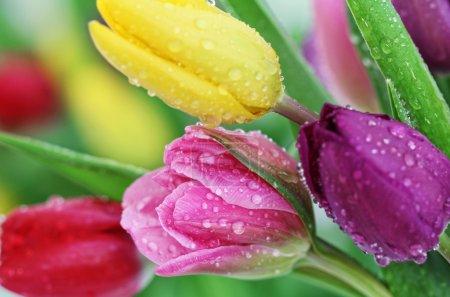 Photo pour Fleurs de tulipes printanières fraîches colorées avec gouttes de rosée. Gros plan avec DOF peu profond . - image libre de droit