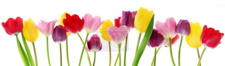 Photo for Colorful fresh spring tulips flowers border in a row on white background - Royalty Free Image