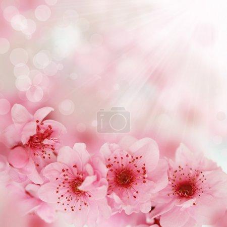 Photo pour Des cerisiers de printemps frais, roses et doux fleurissent sur fond de bokeh rose. DOF très peu profond . - image libre de droit
