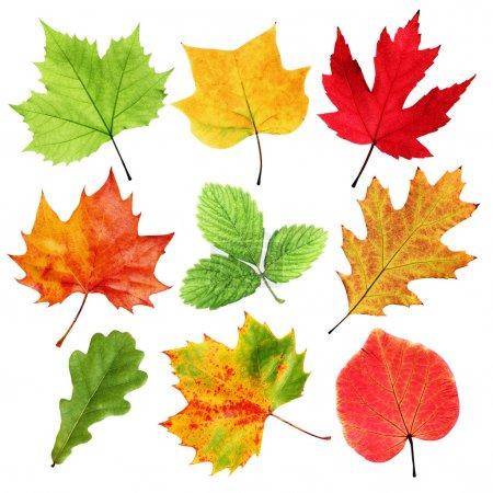 Photo pour Collection de feuilles d'automne et d'été colorées isolées sur blanc - image libre de droit