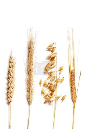 Photo pour Sélection de blé - image libre de droit