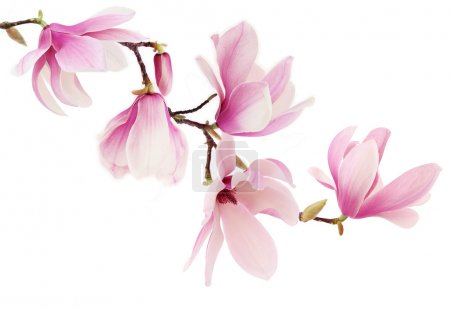 Beautiful pink spring magnolia flowers on a tree b...