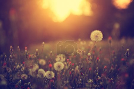 Photo for Vintage photo of dandelion field in sunset - Royalty Free Image