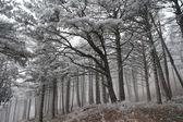 Borový les s mrazem