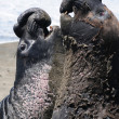 California sea lions squaring up against each othe...