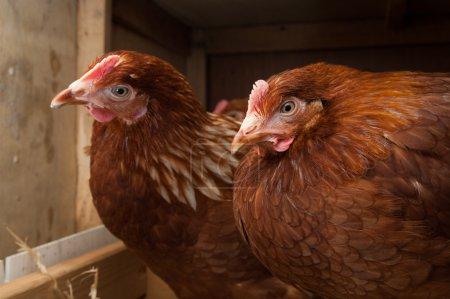 Resting hens in the chicken coop