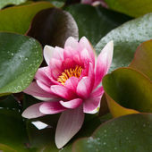 Flower - Lotus