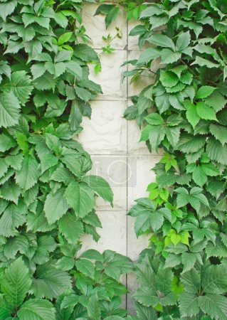 Green vines on a light wall