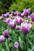 Tulipán zahrada v přírodním parku