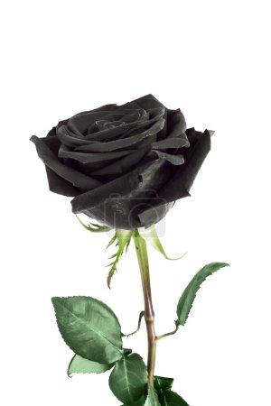 Photo pour Noir fleur rose sur fond blanc - image libre de droit