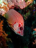 Longjawed squirrelfish