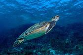Green sea turtle. (Chelonia mydas)