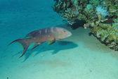 Lyretail grouper. (Variola louti)