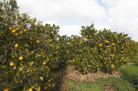 Photo for Orange grove with trees full of oranges. - Royalty Free Image