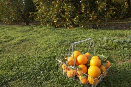 Photo pour Fil panier plein d'oranges fraîches, assis à l'Orangeraie. - image libre de droit