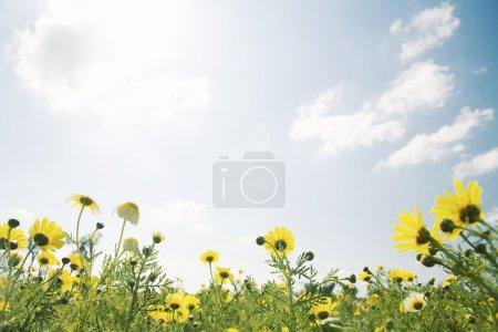 Vue large d'un champ de marguerites jaunes sur un ciel bleu ensoleillé .