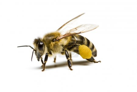 Photo for Bee on white background - Royalty Free Image
