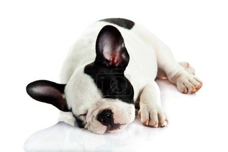 French bulldog isolated on white background...