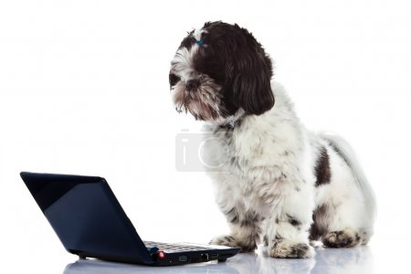 Shih tzu with computer isolated on white background dog