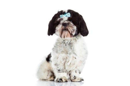 Shih tzu isolated on white background dog