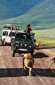 Džípy turistům, uprostřed divoké hrdost afrických lvů
