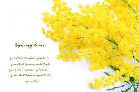 Photo pour Mimosa sur fond blanc - image libre de droit